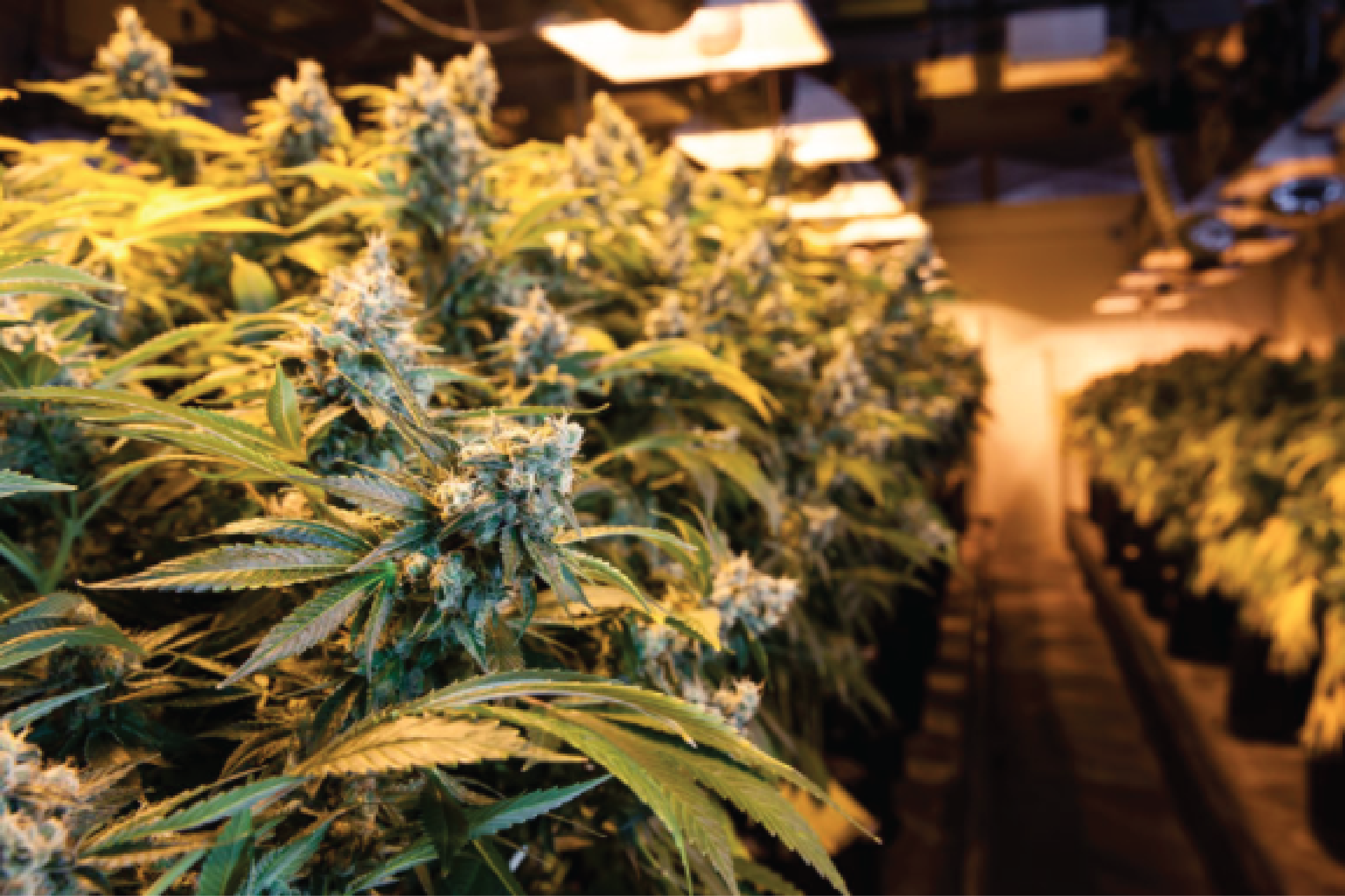 cannabis business services